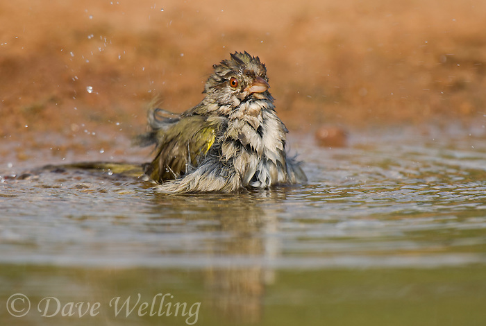 578840055 olive sparrow arremonops rufivirgatus bathes in a small pond on laguna seca ranch near edinburg texas united states