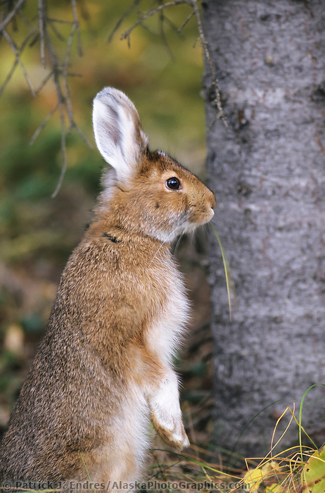 Snowshoe hare, summer, Denali National Park, Alaska
