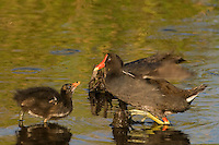 559500020 common gallinules gallinula galeata or common moorhens gallinula chloropus wild texas.Adult Feeding Chick.Anahuac National Wildlife Refuge, Texas