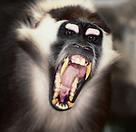 Red-Crowned Mangabey, Central West Africa
