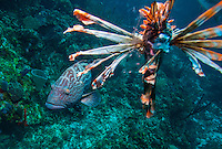 Black grouper (Mycteroperca bonaci) checks out lionfish (Volitans Pterois), an invasive species) killed by scuba diver on reef ; West End, Roatan, Honduras. The diver is licensed to fish in the marine park.