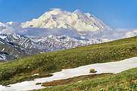 Grizzly bear walks across a snow patch in the tundra with Mt McKinley in the distance, Denali National Park, Alaska