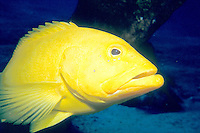 MARINE LIFE<br /> Yellow Coney - Least common color