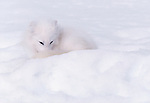 Using its long, bushy tail to keep its nose and feet warm while curling up to sleep, an Arctic Fox disappears in the snow in Nunavut, Canada.