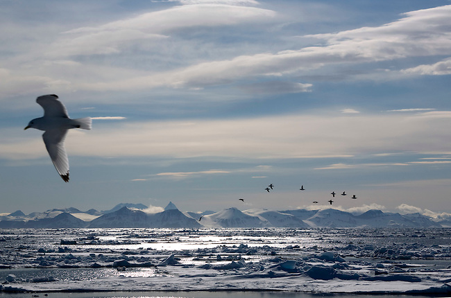 Kittiwake flies slowly over breaking up sea ice looking for food. The Guillemots fly back to their nests on cliffs. Svalbard