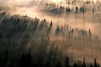 Sunlight at dawn coming through an evergreen forest.
