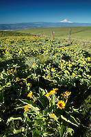 Balsamroot and lupine blooming in spring, Columbia Hills State Park, Klickitat County, Washington, USA