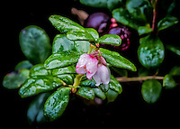 Alaska.  Out-of-season pink-edged Low-bush Cranberry blossoms (Vaccinium vitis-idaea) covered with frozen raindrops on a cold September morning on the Kenai Peninsula with two maroon-colored ripe berries behind.