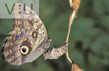 Owl Butterfly (Caligo eurilochus) showing the large eyespot, Costa Rica.
