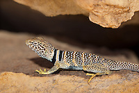 414390019 a wild great basin or desert collared lizard crotaphytus insularis bicinctores perches on a rock along chalk cliffs road near bishop in northern inyo county california united states