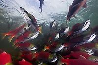 salmon photos
