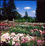 Founded in 1917, Portland's International Rose Test Garden is the oldest official, continuously operated public rose test garden in the United States.  The primary purpose of the garden is to serve as a testing ground for new rose varieties.  Located in Washington Park, one of the oldest, best-loved and well-used parks in Portland was originally named City Park.  Today, Washington Park covers nearly 130 acres.