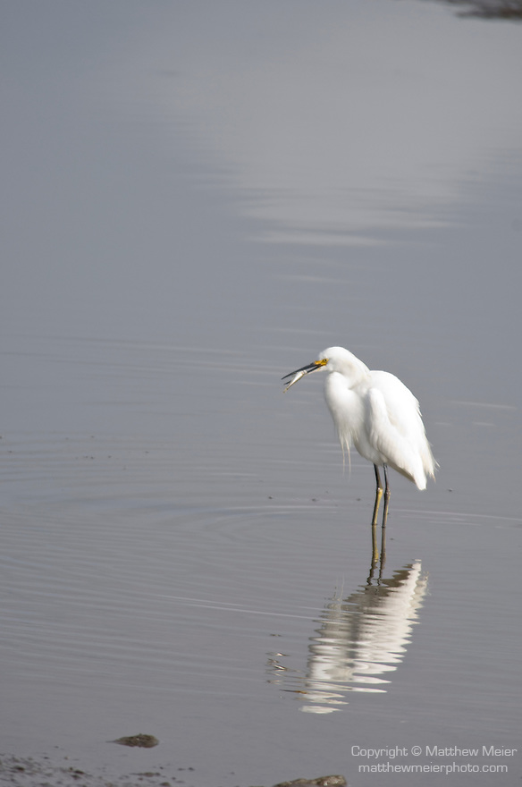 San Diego River, San Diego, California; a Snowy Egret (Egretta thula) bird with a small fish in it's mouth and it's reflection in the San Diego River, distinguished from the great egret by its smaller size, black bill and yellow feet