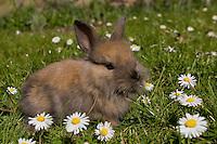 Zwerg-Kaninchen, Zwergkaninchen, auf Frühlingswiese mit Gänseblümchen, im Garten, dwarf rabbit