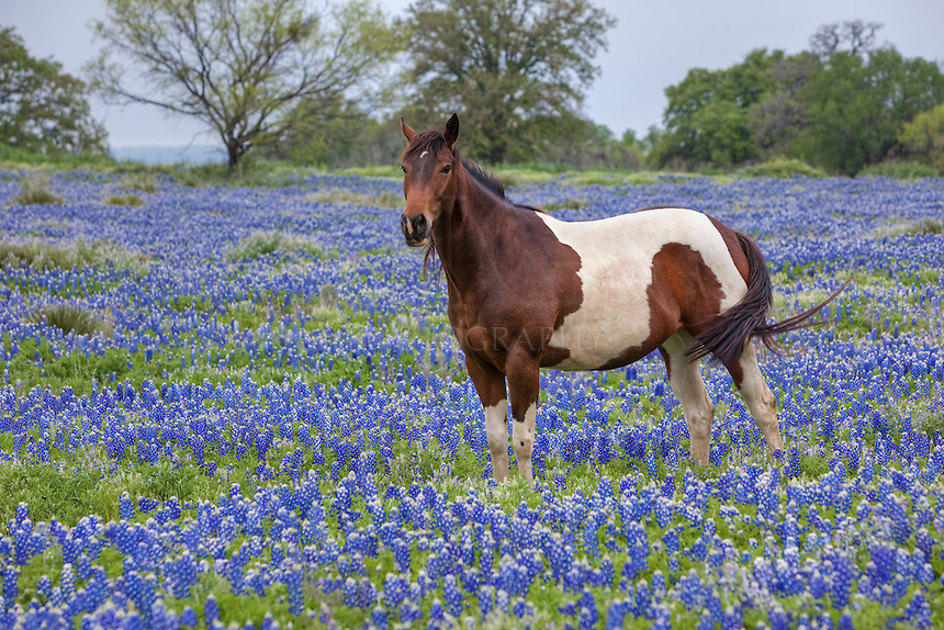 Horses are such regal creatures. And a horse in a Texas Bluebonnet field is iconic Texas.