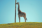A Giraffe and a pole.
