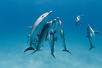 RW4965-Dr. Atlantic Spotted Dolphins (Stenella frontalis) interacting with each other above sandy bottom while two snorkelers observe. Bahamas, Atlantic Ocean.<br /> Photo Copyright &copy; Brandon Cole. All rights reserved worldwide.  www.brandoncole.com