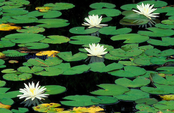 Fragrant Water Lilies (Nymphaea odorata) Green Swamp Ecological Reserve, North Carolina, USA.