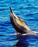 Hawaiian spinner dolphin, Stenella longirostris longirostris, tail-walking, Kona Coast, Big Island, Hawaii, USA, Pacific Ocean