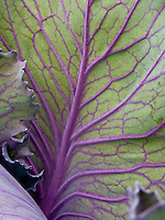 Leaf of Red cabbage with backlighing