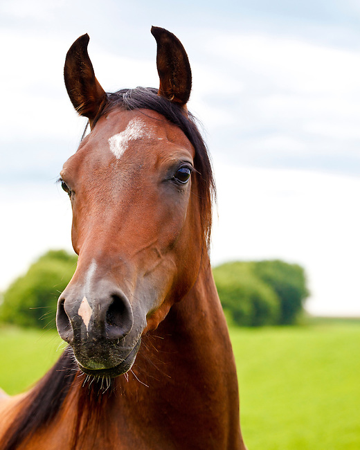 Closeup of chestnut Arabian horse with white star on forehead and snip