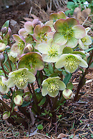 Hellebore x ballardiae 'Pink Frost' flowers with closeup of stamens and pistils