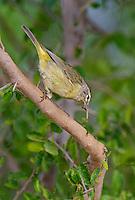 592210036 a wild orange-crowned warbler vermivora celata  on santa clara ranch starr county texas united states
