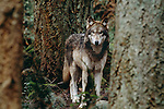 Grey wolf, Vancouver Island, British Columbia, Canada