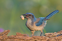 551180040 western scrub jay aphelocoma californica texana a wild western scrub jay aphelocoma californica texana the texas subspecies of aphelocoma steals a peanut from a feeding station at los madrones ranch in travis county texas united states