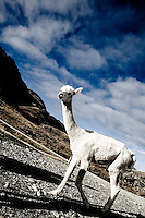 Llama in the hills above Queenstown, New Zealand