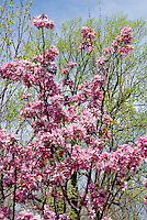 Malus DurLawrence (Courageous Crabapple) in pink flowers in spring