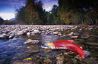 mb121. Sockeye Salmon (Oncorhynchus nerka). British Columbia, Canada..Photo Copyright © Brandon Cole. All rights reserved worldwide.  www.brandoncole.com..This photo is NOT free. It is NOT in the public domain. This photo is a Copyrighted Work, registered with the US Copyright Office. .Rights to reproduction of photograph granted only upon payment in full of agreed upon licensing fee. Any use of this photo prior to such payment is an infringement of copyright and punishable by fines up to  $150,000 USD...Brandon Cole.MARINE PHOTOGRAPHY.http://www.brandoncole.com.email: brandoncole@msn.com.4917 N. Boeing Rd..Spokane Valley, WA  99206  USA.tel: 509-535-3489