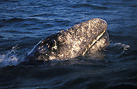 A gray whale breaks the surface and blows.