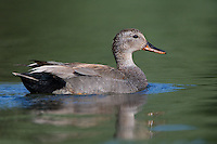 Gadwall swimming on a pond on a sunny morning