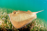 southern stingray, .Dasyatis americara, .Stiltsville, Biscayne National Park, .Miami, Florida (Atlantic).