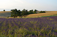Lavender fields at sunset, Plateau de Valensole, Provence, France