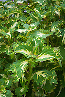 Solenostemon (Coleus) 'White Pheasant'