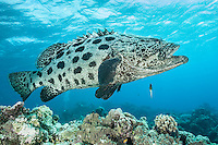 Giant Potato Cod with small cleaner wrasse. (Photo by Underwater Photographer)