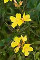 Evening primrose (Oenothera macrocarpa var. incana), end June.