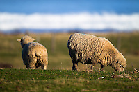 New Zealand is renown for sheep - they are everywhere...you can even find them on some of the rural beaches. I bet they have seen some good surf days!