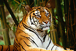 Sumatran tiger (captive)