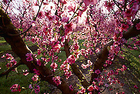 Agriculture - Peach orchard in full bloom / near Crows Landing, San Joaquin Valley, California, USA.