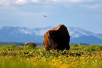 Bison, dandylions, blooming, Grand TEton National Park, Jackson, Hole, Wyoming