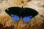 Butterfly, Tambopata-Candamo Reserve, Peru