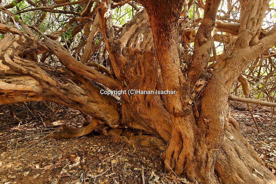 Salvadora Persica Tree Salvadora Persica Tree