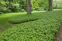 Grass alternative in mass planting of Pachysandra terminalis groundcover around tree in shade with lawn, fence