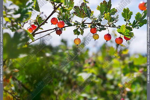 Closeup of gooseberries on a bush