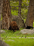 This black bear and grizzly bear slept and ate next to each other in the forest.