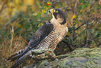 527950019 a captive peregrine falcon falco peregrinus a federally endangered raptor perches on a lichen covered rock in central colorado united states