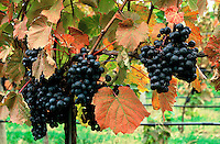 Mudd Vineyards, Ltd., Mattituck, New York, USA
